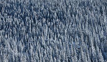 Presisjonsskogbruk kan redusere råteskader i skog