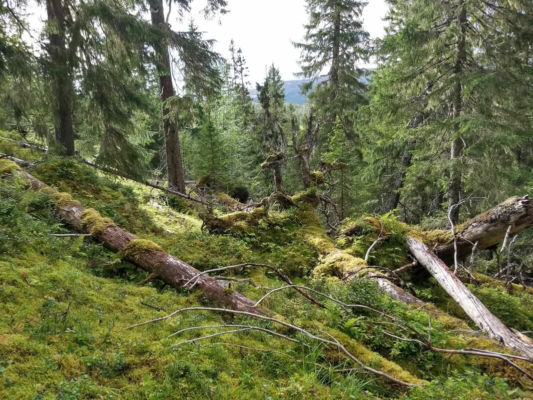 Gammel skog og karbonfangst: Stedvis kan naturlig mortalitet skape åpninger i skogen og redusert karbonfangst. De døde trærne brytes langsomt ned og vil delvis bli til jordkarbon.
