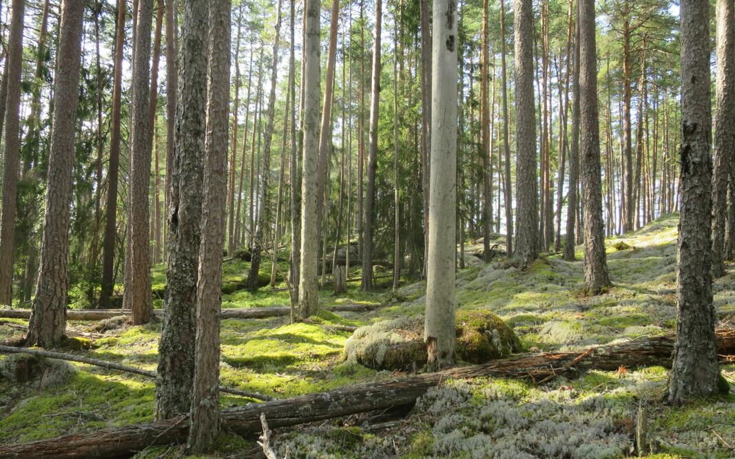 Karbonfangst i eldre skog: Slik furuskog med høy tetthet av trær kan fortsette å vokse og utføre netto karbonfangst minst 50-100 år forbi hogstmoden alder.
